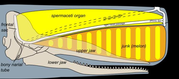 anatomia ballena