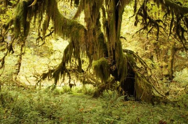 bosque de musgo washington