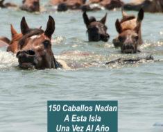 150 caballos nadan a esta isla todos los años ¿Por qué? ¡Descúbrelo!