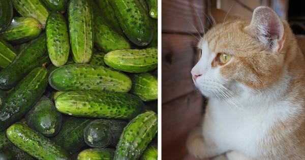 Por qué los gatos tienen tanto miedo a los pepinos