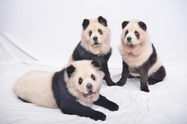 panda chow chow