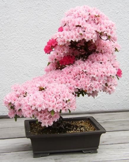 fotos arboles bonsai
