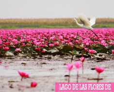 Lago de las Flores de Loto Rojo en Kumphawapi, Tailandia