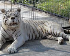 Kenny, el primer tigre con síndrome de Down