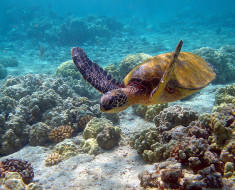 tortuga marina verde mexico