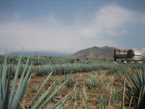 tren tequila express agave