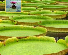 Esta es la flor acuática más grande del mundo