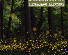 El misterio de las unicas luciérnagas síncronas