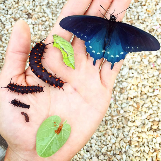 repoblacion especie mariposa california