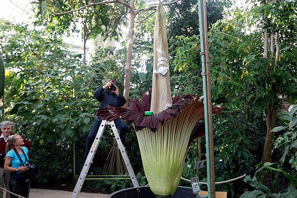 Esta es la flor más grande del mundo