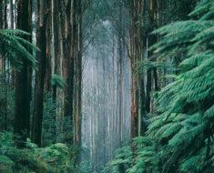 Los eucaliptos gigantes de Australia | Entre los árboles más altos del mundo
