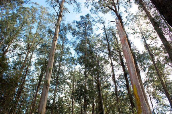 Los eucaliptos gigantes de Australia