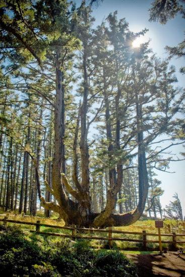 Este es el insólito árbol pulpo de Oregón