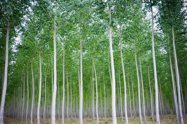 Boardman, una granja de árboles en Oregón