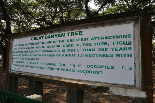 great banyan el árbol más ancho del mundo