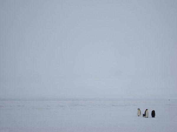 Antarctica: Emperor Penguins