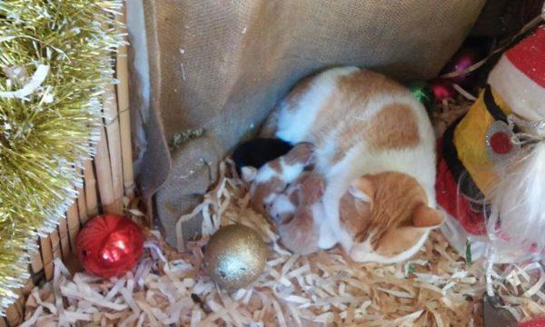Esta gatita parió a sus bebés en un pesebre de Navidad
