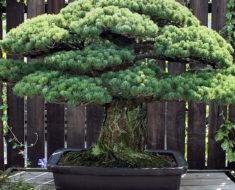 Este bonsái fue plantado en Hiroshima en 1621. Sobrevivió a la bomba atómica y continúa creciendo