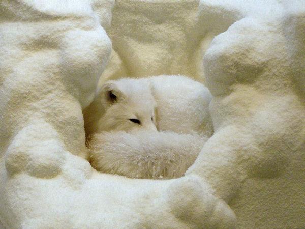 10 curiosidades sobre los zorros que te sorprenderán