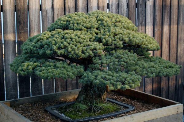 Este bonsái fue plantado en Hiroshima en 1621