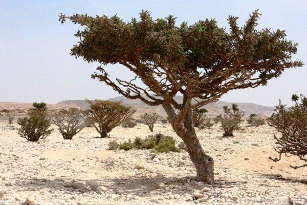 Los árboles de incienso de Wadi Dawkah