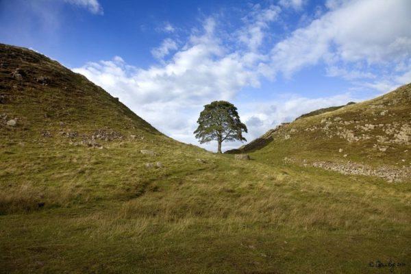 Sycamore Gap. El Gran Roble de Sherwood, el árbol de Robin Hood