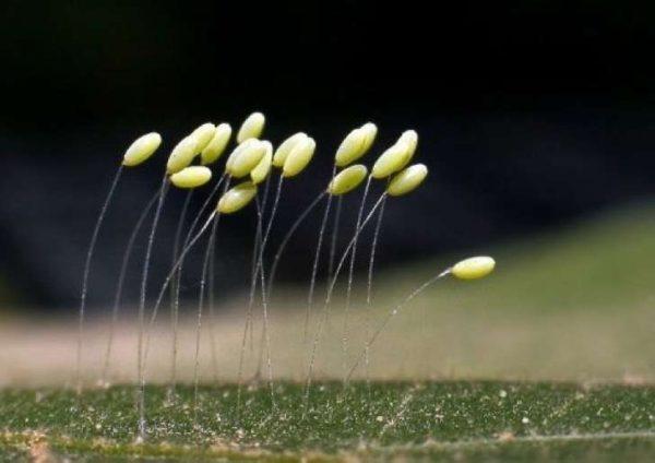 Udumbara: La flor que crece cada 3000 años