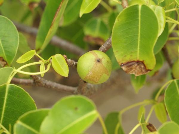 hippomane mancinella este es el árbol más letal que existe en el mundo