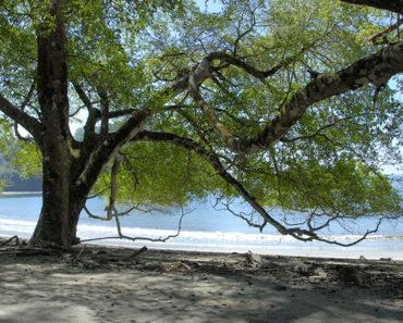 Este es el árbol más letal que existe en el mundo | Podría matarte con olerlo, tocarlo o comer su fruta