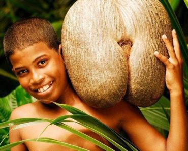 El famoso coco de mar de las Seychelles. La semilla mas grande del mundo