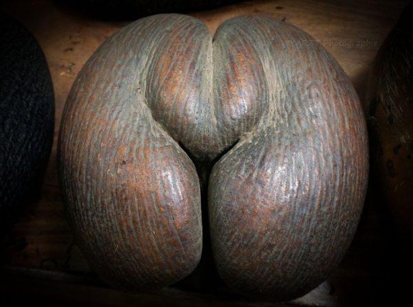 El famoso coco de mar, una fruta prohibida de las Seychelles