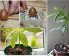 como plantar cultivar aguacates en casa
