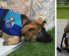 Este perrito no fue admitido por la policía por una increíble razón