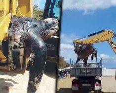 Esta extraña tortuga fue hallada en una playa de España, ¡y pesa más de 500 kilos!
