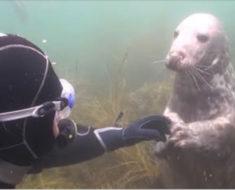Buzo confundido no comprende qué quiere la foca, pero entonces el animal toma su mano