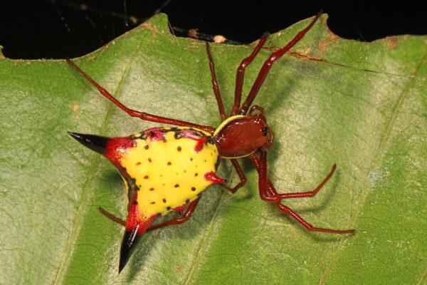 Encuentran un 'Pikachu' de la vida real en los bosques de Honduras (FOTOS)