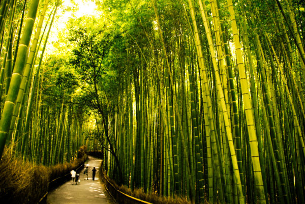 El misterioso fenómeno de la floración del Bambú