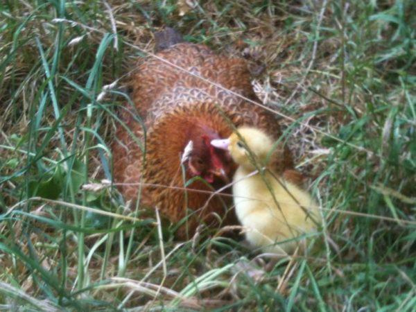 fotos graciosas mama gallinas