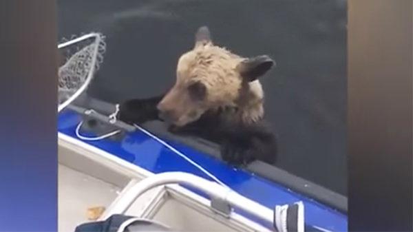 Pescadores ven que un osezno se aferra al bote – miran a la derecha y se dan cuenta de que no están solos