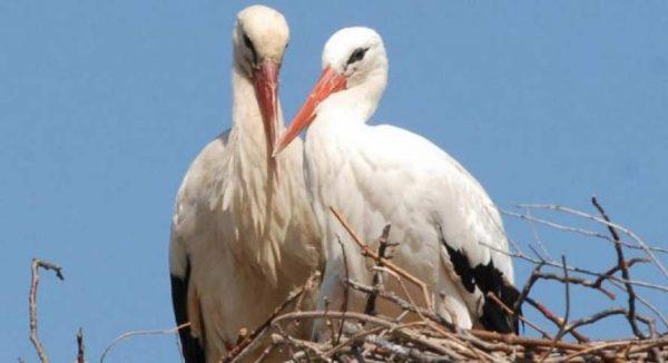 La historia de amor de dos cigüeñas que conmueve al mundo entero