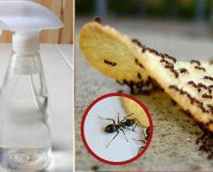 Experto revela barato y desconocido truco: Así te deshaces de las hormigas inmediatamente